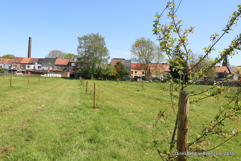 Another view of the field with transplanted Schaarbeekse cherry trees.