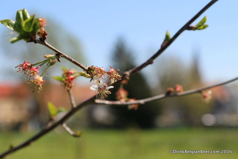 A close up of a branch with young Schaarbeekse cherries in a future 3 Fonteinen orchard of cherry trees.